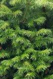 Texture verte de branches d'arbre de sapin Photographie stock