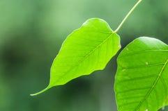 Texture verte de feuille de bodhi Photos libres de droits
