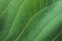 Texture verte de feuille pour la fin abstraite de fond  Photos libres de droits