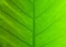 Texture verte de feuille pour le fond Image libre de droits