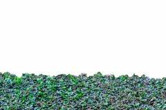 Texture verte de fleur de boutons de manteau d'isolement Photo libre de droits