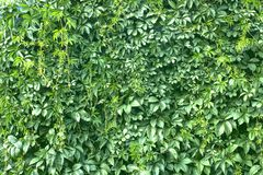 Texture verte de fond de mur de feuille dans le jardin photo stock