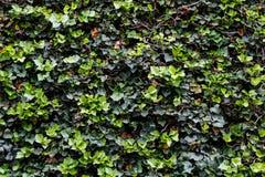 Texture verte de mur de lierre Photographie stock