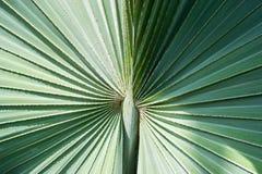 Texture verte en feuille de palmier - lumière et ombre Image stock