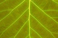 Texture verte fraîche de feuille avec le plan rapproché évident de veines image stock