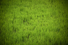 Texture verte fraîche de rizière Photographie stock