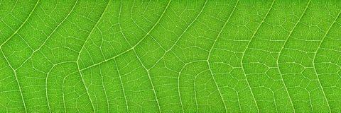 texture verte horizontale de feuille pour le modèle et le fond images libres de droits