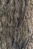 Texture of very old tree Royalty Free Stock Image