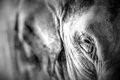 Texture voyante haute étroite et taches de peau d'éléphant photographie stock libre de droits
