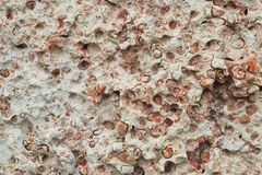 Texture of the wall made of white and pink shell rock or coquina, stone background stock image