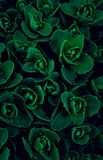 Texture, wallpaper green flowers euphorbia multicolored, leafing filling the entire frame stock photo