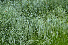 The texture of the wet tall grass. Royalty Free Stock Photography