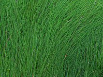 The texture of the wet tall grass. Stock Images