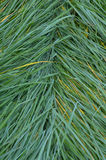 The texture of the wet tall grass. Royalty Free Stock Image