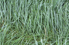 The texture of the wet tall grass. Stock Photo