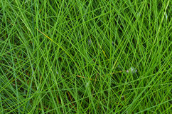 The texture of the wet tall grass. Royalty Free Stock Images