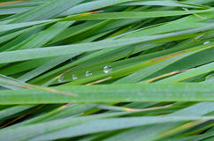 The texture of the wet tall grass. Royalty Free Stock Photos