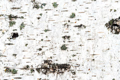 Texture of white birch bark Stock Image