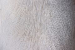 Texture of white dog short hair royalty free stock image