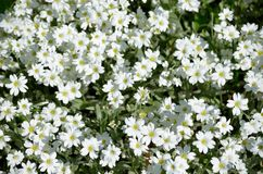 Texture of white flowers. Background texture with lots of small white flowers Royalty Free Stock Image