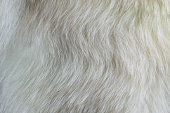 Texture white fur polar fox Stock Image