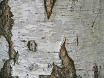 Texture of white trunk of birch tree Royalty Free Stock Images