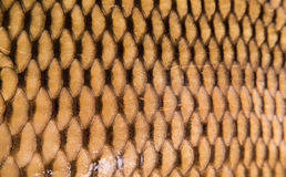 Texture of wild carp skin Stock Photo