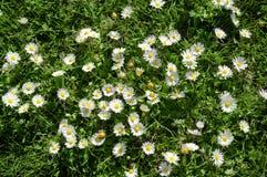 Texture of Wild Daisies royalty free stock photo
