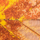 Texture on Wither Leaf of Teak Stock Image