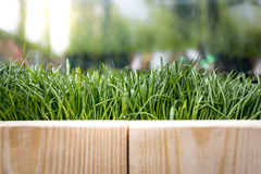 Texture of wooden boards and fresh green grass at sunny day Stock Photos