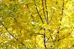 Texture of yellow autumn leaves Stock Photography