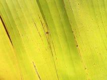 Texture of yellow banana leaf (old banana leaf) Royalty Free Stock Photo