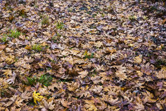 Texture of yellow and brown maple leaves Stock Photos