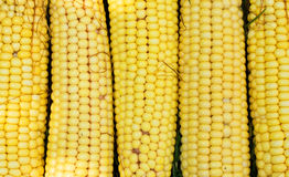 Texture - yellow cobs fresh corn Royalty Free Stock Image
