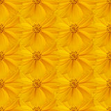 Texture of yellow cosmos Royalty Free Stock Photos