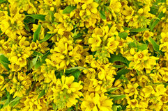 The texture of yellow flowers and green leaves Stock Image