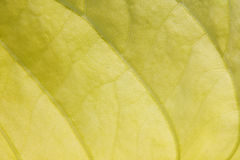 Texture of a yellow leaf Royalty Free Stock Photos