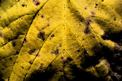 Texture of a yellow leaf, macro Royalty Free Stock Photos