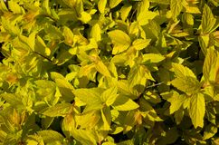 Texture of yellow plant. Texture with yellow leafs of plant Stock Image