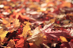 Texture yellow and red autumn leaves Stock Image