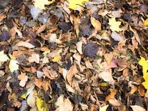 Texture of yellow and red, brown colorful natural fallen autumn different leaves. The background.  royalty free stock image