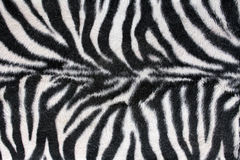 Texture Zebra. Texture of black and white stripes of a zebra royalty free stock image