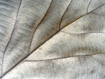 Textured autumn brown leaf Royalty Free Stock Images