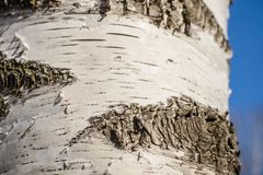 The bark of birch close up. Textured bark of a birch trunk closeup in sunlight Stock Images