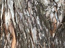 Textured bark of a Dawn Redwood tree. Mulch-colored bark of a Dawn Redwood tree & x28;Metasequoia Glyptostroboides& x29;.  This is a cypress tree from Central Stock Image