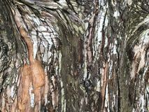 Textured bark of a Dawn Redwood tree. Mulch-colored bark of a Dawn Redwood tree & x28;Metasequoia Glyptostroboides& x29;.  This is a cypress tree from Central Royalty Free Stock Photos