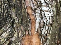 Textured bark of a Dawn Redwood tree. Multi-colored bark of a Dawn Redwood tree & x28;Metasequoia Glyptostroboides& x29;.  This is a cypress tree from Central Stock Photography