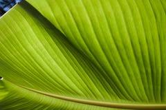 Textured bright fresh banana leaf closeup for background with backlight. Textured bright and shiny fresh banana leaf for background Stock Images