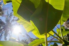 Textured bright fresh banana leaf closeup for background with backlight. Textured bright and shiny fresh banana leaf for background Stock Photos