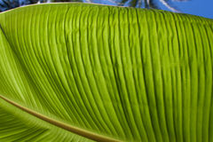 Textured bright fresh banana leaf closeup for background with backlight. Textured bright and shiny fresh banana leaf for background Royalty Free Stock Images